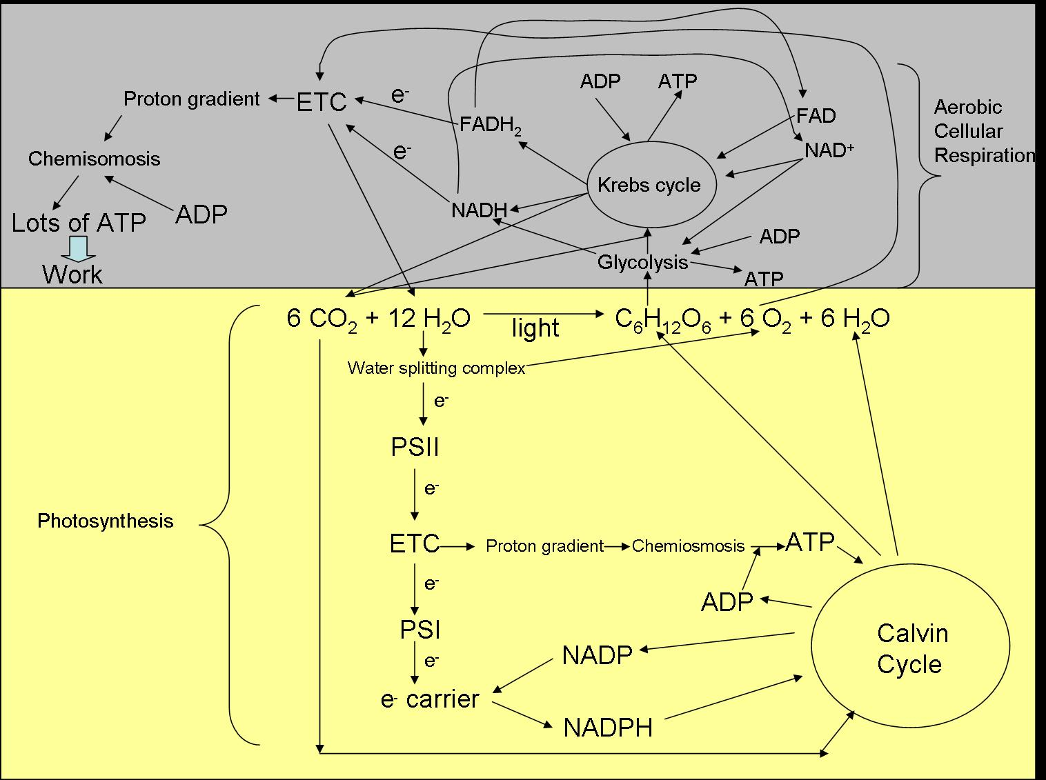 Photosynthesis and cellular respiration ccuart Image collections